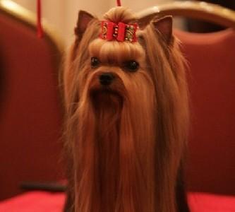 Origen del Yorkshire Terrier